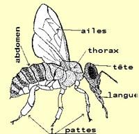 Le corps d' une abeille