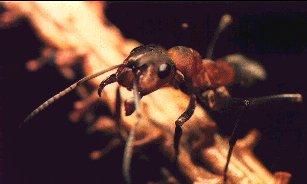 Une fourmi rousse
