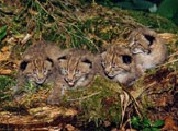 4 bébés lynx. Photo: Michel Pharisa